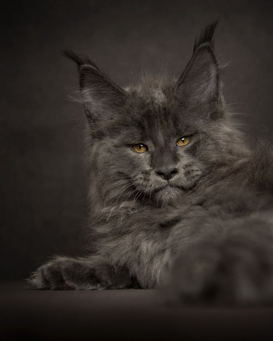 Maine Coon cats' majestic side captured by photographer Robert Sijka