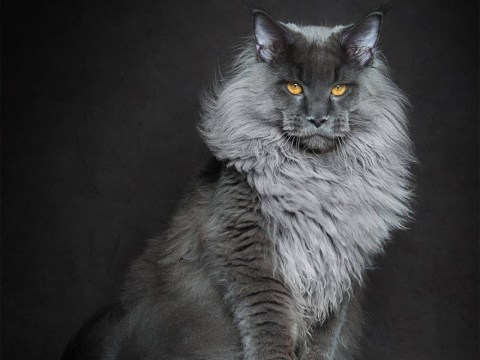 Photographer captures the majestic side of Maine Coon cats