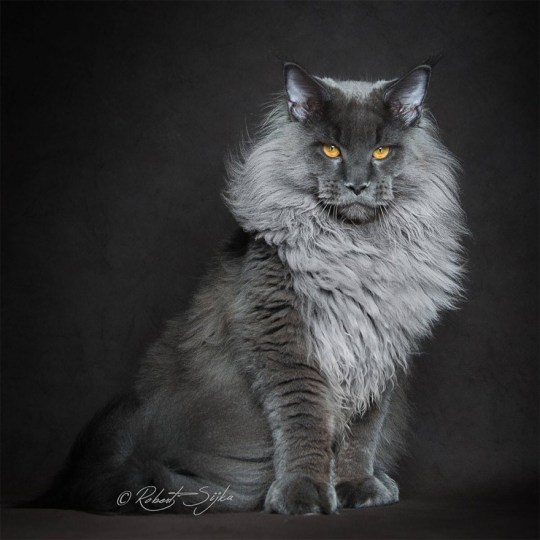 Maine Coon Cats Majestic Side Captured By Photographer Robert Sijka Metro News