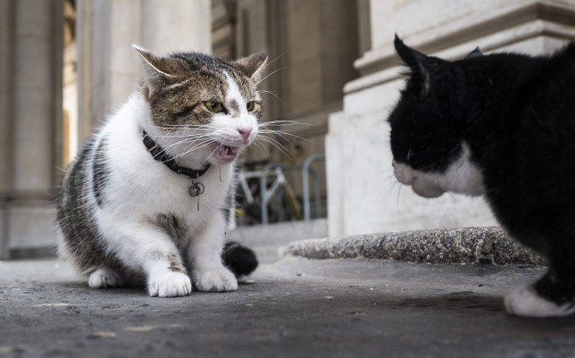 Mandatory Credit: Photo by Rob Pinney/LNP/REX/Shutterstock (5771370a) Larry the cat, who belongs to the Prime Minister and lives at 10 Downing Street, and Palmerston, the Foreign and Commonwealth Office cat, square off against each other and fight on Downing Street. Larry and Palmerston cat fight, Downing Street, London, UK - 17 Jul 2016