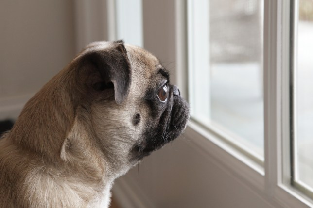 Pug dog looking out glass door