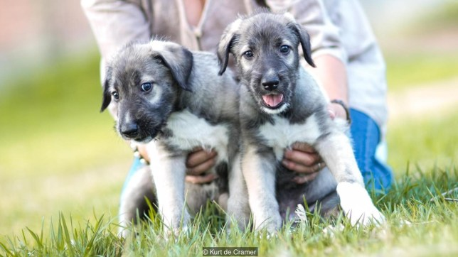Identical twin puppies