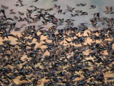 Dozens of birds randomly fall out of the sky