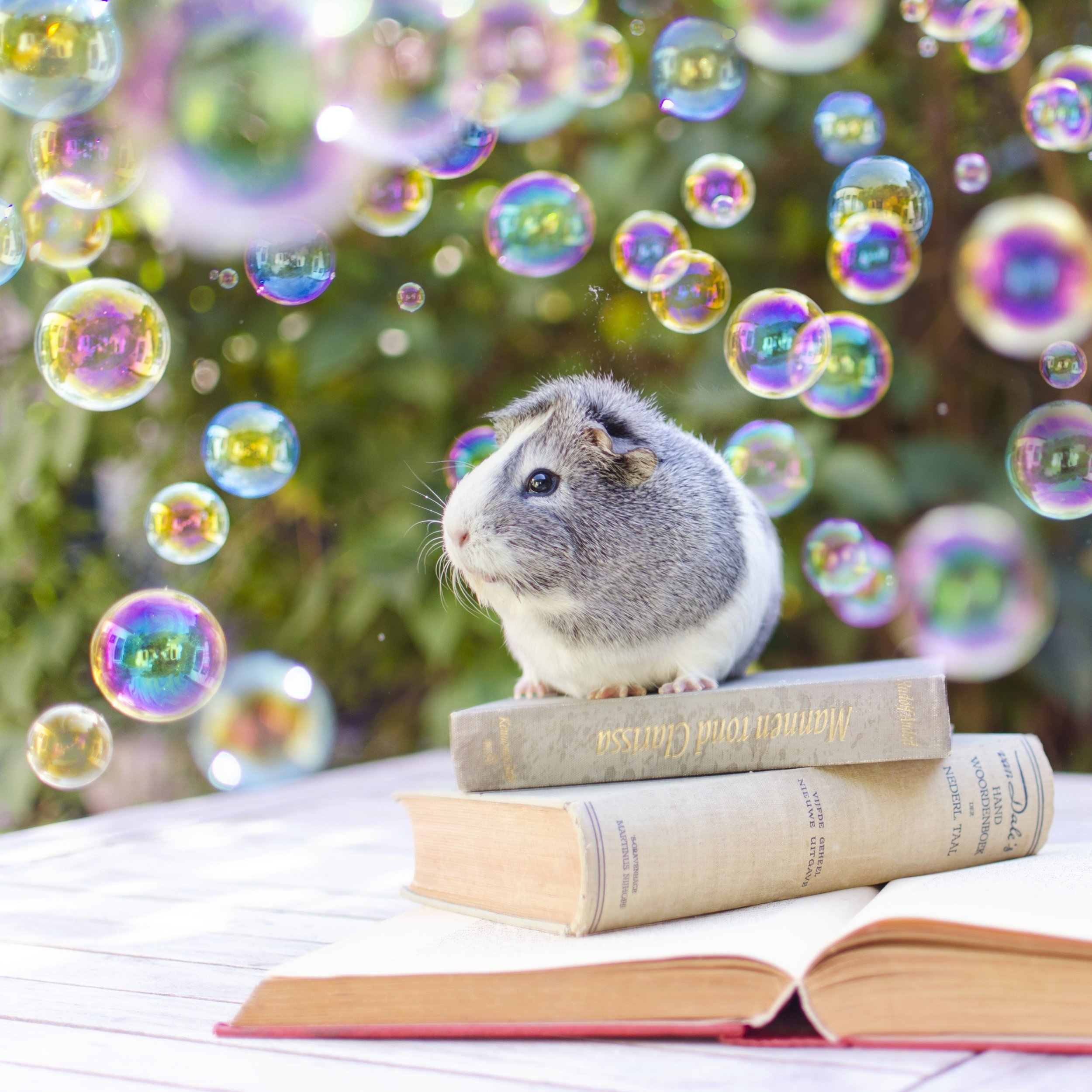 Pic by HotSpot Media - ADORABLE GUINEA PIG PICTURED IN FAIRYTALE-ESQUE SCENES - IN PIC - This adorable guinea pig, named Mieps, shows off her photogenic side in this series of fairytale-esque pictures, captured by photographer Marloes van Antwerpen. - From balancing on top of a candy floss cloud to hovering over a boiling cauldron, this adorable guinea pig is photographed in an variety of fairytale-esque scenes. The three- year- old rodent named Mieps, shows off her photogenic side as she playfully poses for the camera in a series of cute snaps. The fun photographs were taken by 23-year-old Dutch photographer Marloes van Antwerpen. Marloes says: ¿ÄúI bought Mieps in a pet store three years ago and it was love at first sight....SEE HOTSPOT MEDIA COPY 0121 551 1004