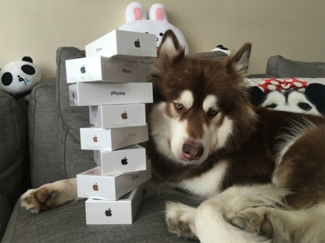 Iphones for dog credit: Wang Sicong/Weibo