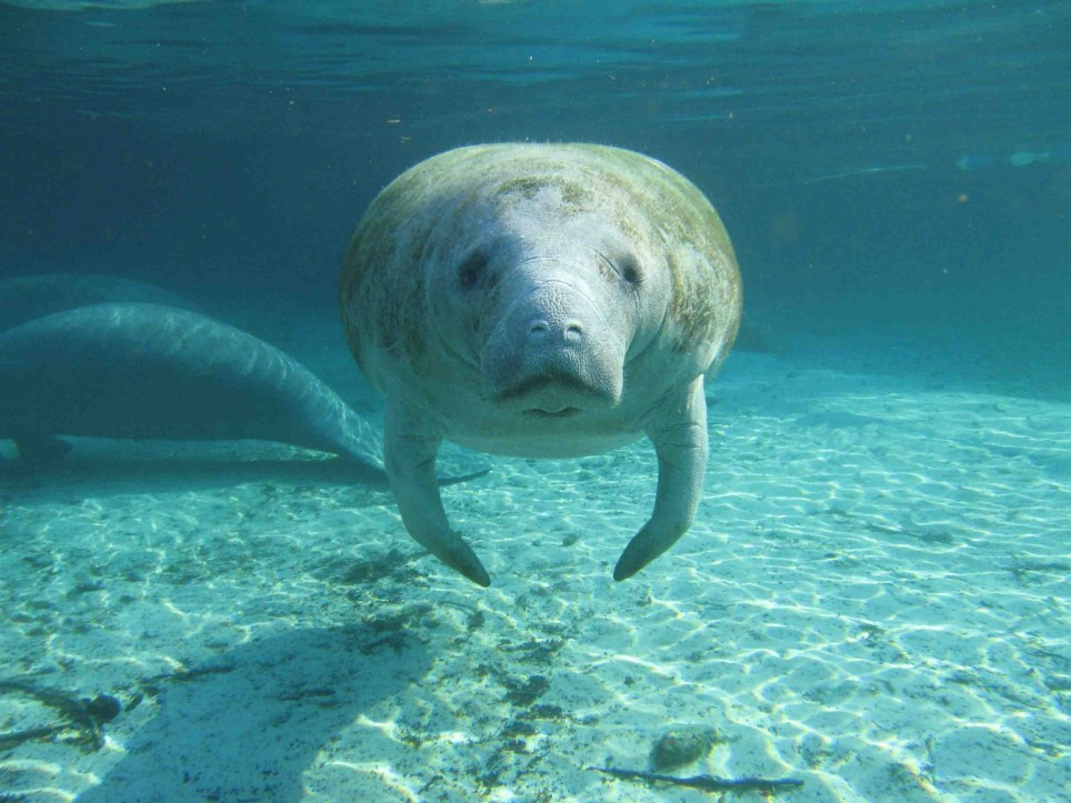 A manatee swimming towards the photographer, Florida. Image courtesy Robert Bonde/USGS. 2007. (Photo by Smith Collection/Gado/Getty Images).