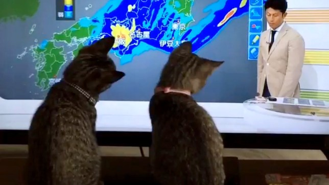 """Pic shows: cats watching to the TV.nnWatching the weather forecast has apparently become staple viewing for these two kittens.nnBut apparently it is not the weather they are interested in, instead they constantly try to catch the presenter¿s pointer stick which they seem to think is being used to tease them.nnAs this video shows, the presenter is seen enthusiastically pointing out the various points of the upcoming weather where a typhoon is expected across Japan.nnBut the video posted on the social media account of the user ¿nyanpyo¿ shows the cats sitting completely fixated on the show, and waiting for the perfect moment to try and grab his pointer stick.nnThey are seen from behind watching it attentively the whole time, and even looking to see where it goes when it vanishes off-screen, thinking that it might have dropped off the bottom of the television.nnAnd of course they also try and grab it with their own paws, but are left frustrated as they get stuck on the screen with the pointer still moving underneath.nnPosting the image, ¿nyanpyo¿ added: """"Thanks for playing with my cats this morning.""""nnHe also pointed out that the weather forecast was actually part of their daily routine, meaning he gets a chance to at least have a few minutes of not worrying about what other mischief they might be up to.nn(ends)"""