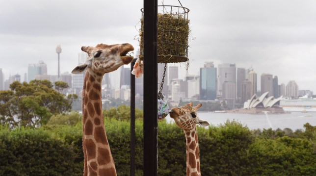 Two Giraffes enjoy their Christmas treats as they discover some gift-wrapped food treats and other tasty decorations in their exhibit at Taronga Zoo, in Sydney on December 9, 2014.  Animals at the zoo were quick to pounce on the festive-themed enrichment items prepared by keepers, showing off their natural foraging skills to uncover the food inside while some seemed just as happy playing with the cardboard box packaging.   AFP PHOTO/William WEST        (Photo credit should read WILLIAM WEST/AFP/Getty Images)