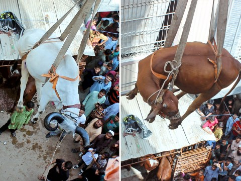 Cow and bull rescued from roof of house by crane – after living up there for four years
