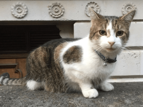 Larry the cat shows off his new bling around Downing Street