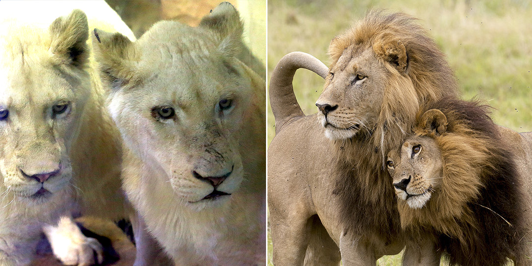Lionesses grow manes and start taking over pride