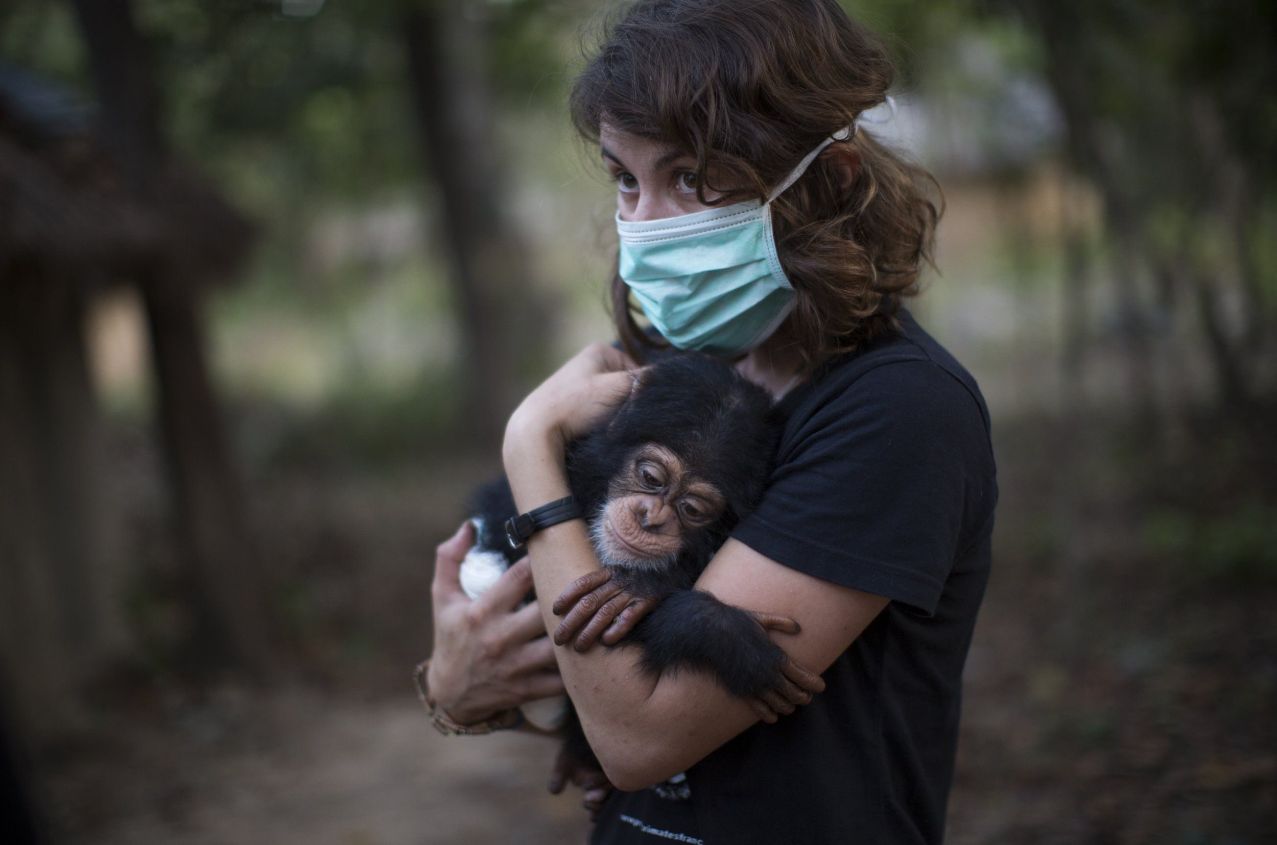 SOMORIA, GUINEA - NOVEMBER 26: French volunteer Audrey Lenormand, 27, holds ten month old Soumba for the first time after being handed him by GALF, at the Chimpanzee Conservation Centre, (CCC) on November 26, 2015 in Somoria, Guinea. Soumba was recently rescued from traffickers by authorities and is the 50th baby Chimpanzee to arrive at the CCC. For the first three months he is cared for 24 hours a day by a volunteer quarantined away from other chimpanzees and staff. The CCC is a sanctuary and a rehabilitation centre for rescued orphaned chimpanzees and is supported in part by Project Primate, Inc., a US NGO. The centre is located on the Banks of the River Niger in the Haut Niger National Park in Guinea, West Africa and consists of around 6000 square km of Savannah and tropical dry forests. The CCC currently looks after 50 Western Chimpanzees, one of the most endangered sub species of chimpanzee. Most of the animals were orphaned and subsequently rescued after being taken as babies in the wild from their family groups. According to the Great Apes Survival Partnership, (GRASP), for every young Chimpanzee rescued, around 10 of its family members will have likely been killed in the process. The centre rehabilitates and cares for the animals, and ultimately aims to release them back into the wild, a process that take over 10 years. The animals often suffer from physical and psychological damage, but with care, attention and compassion from the keepers and volunteers, the animals begin the long process of gaining independence and learning how to survive in the wild. As they develop they are slowly integrated back into larger family groups until they are ready for their eventual release when possible. (Photo by Dan Kitwood/Getty Images)