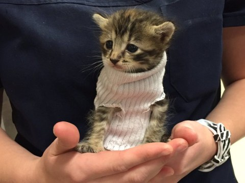 Tiny kitten that survived Hurricane Matthew stays warm in a jumper made from a sock