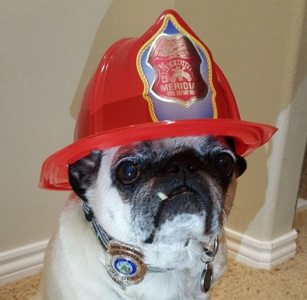 Hero pug receives special award after saving family from fire