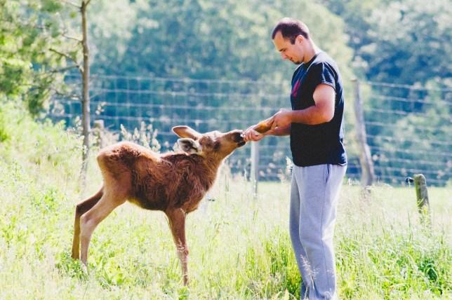 Rescued moose visits his saviour every day Credit Erikas Plucas link back https://www.facebook.com/Emma-the-moose-1032880230172394/