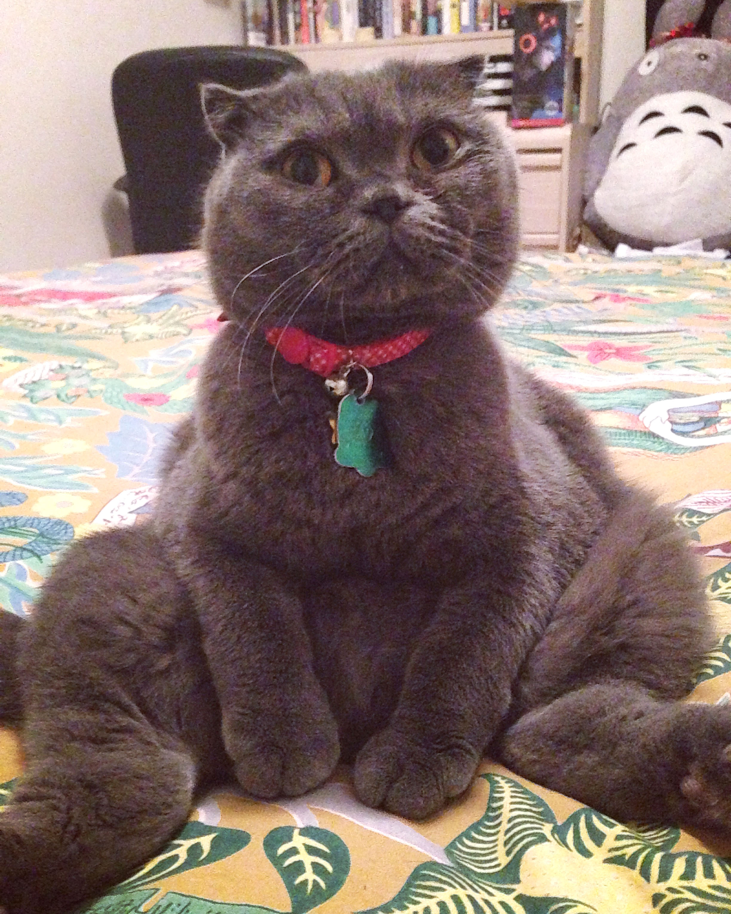 This Scottish Fold cat likes to sit like a human