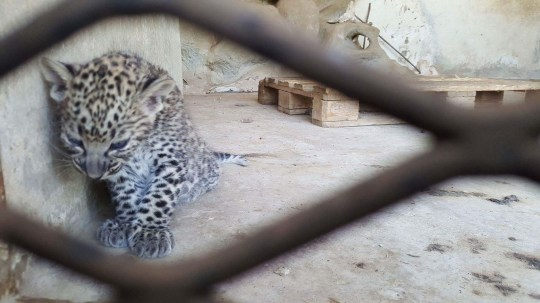 PIC FROM ESAM ALABSI FOR SOS ZOO AND BEAR RESCUE/MERCURY PRESS (PICTURED: ONE OF THE LEOPARD CUBS AT THE ABANDONED TAIZ ZOO IN YEMEN) Two extremely rare Arabian leopard cubs are the latest addition to more than 200 animals starving to death in an abandoned zoo in war-torn Yemen. Campaigners fighting to save the animals trapped in the closed zoo in Taiz, a city in southern Yemen, claim food supplies will run out in a week ñ leaving the adorable cubsí chances of survival hanging by a thread. Taiz Zoo is currently home to 26 Arabian leopards and the survival of the new cubs is paramount for the incredibly rare species with only 80 of the big cats still alive in the wild. Fundraisers have raised cash to feed the animals since the zoo was declared bankrupt in 2015 due to having no visitors as a result of the war but claim the animals at the former attraction could starve to death in just three weeks. SEE MERCURY COPY
