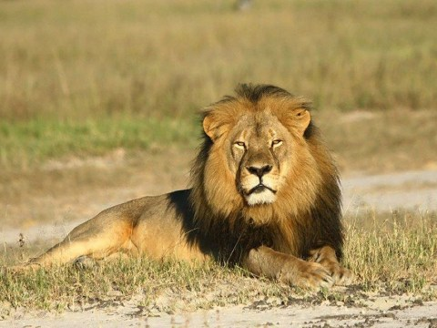 Charges dropped against 'Cecil the lion' hunter