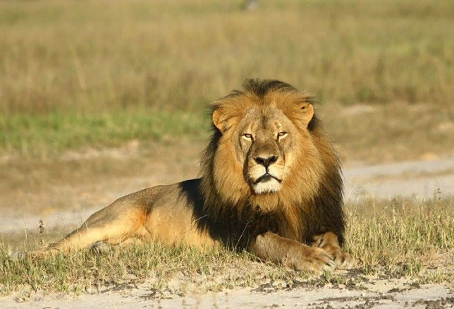 Mandatory Credit: Photo by Paula French/REX/Shutterstock (4916881k) Cecil the Lion Cecil the lion killed by American dentist Walter Palmer, Zimbabwe, Africa - 29 Jul 2015