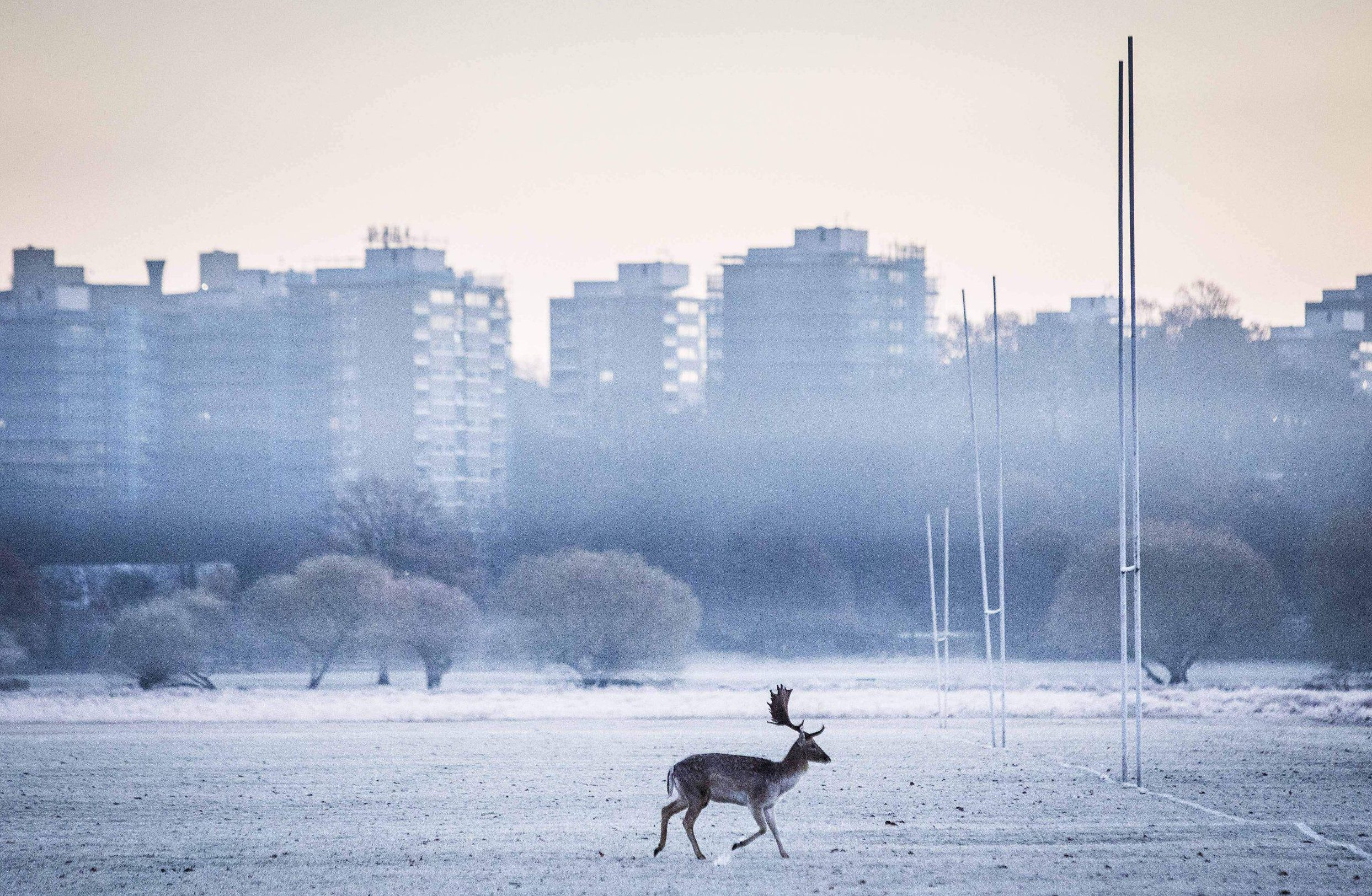 Mandatory Credit: Photo by Rick Findler/REX/Shutterstock (7525770c)nA stag runs through a frosty Richmond Park early this morning as temperatures plummeted to -7C last nightnSeasonal weather, Richmond Park, London, UK - 29 Nov 2016nn