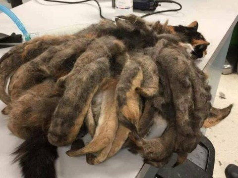 A neglected cat covered in a kilogram of matted fur was rescued with a much-needed haircut