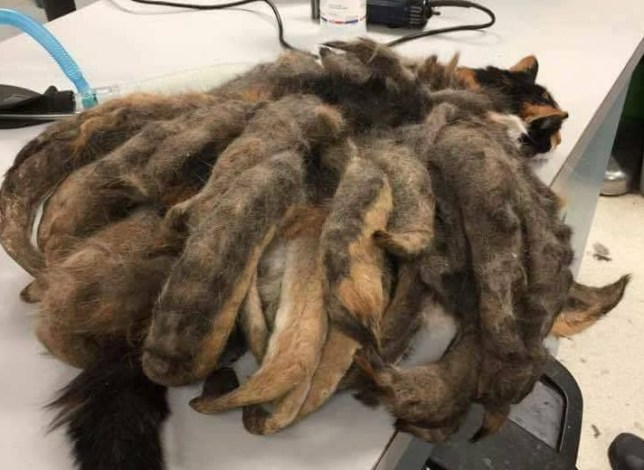 Neglected cat rescued from pounds of matted fur (Animal Rescue League Shelter & Wildlife Center) https://www.facebook.com/animalrescuelg/posts/1309691899051010