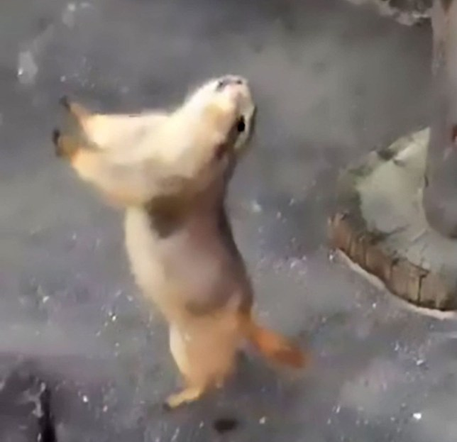 """Pic shows: The animal has fallen and reacts to the sneeze once again;nnThe power of the human body is nothing to be sneezed at.nnSo when one boy let rip with an almighty ¿achoo¿ at a zoo in Okazaki City, in the Aichi Prefecture in Japan, this poor prairie dog did not stand a chance.nnAs the relaxing rodent - normally found in America's grasslands - chilled out in the sunshine it had a nasty shock coming.nnThe boy's sneeze was so powerful that it seemed to knock the creature right off of its feet.nnA bizarre video clip of the encounter shows the prairie dog reeling backwards onto its back legs as it falls off its wooden perch.nnLetting out a terrified squeak, the animal rears up again and then turns tail for the safety of its indoor enclosure.nnOn the video soundtrack, the boy - identified only as 'Kimupan' can be heard apologising to the terrified animal.nnWhen he posted the clip on social media - it has now been shared over 110,000 times - he wrongly identified the prairie dog as a meerkat.nnHe wrote:""""I frightened a meerkat with my sneeze. Haha. I¿m sorry.""""nnWatchers clearly thought the clip was not to be sniffed at.nnOne said: """"I laughed my head off. Haha. This is too cute.""""nnAnother said: """"I¿ve watched this so many times. I¿m addicted. Haha."""""""