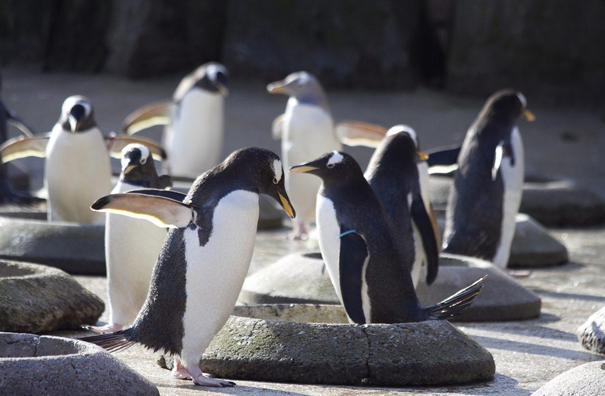 Edinburgh zoo penguin parade suspended over bird flu fears