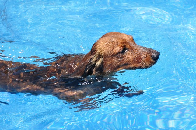 credit: Shutterstock Red Long-Haired Dachshund Swimming ; Shutterstock ID 77935468