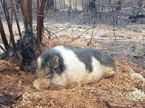Pig survives devastating fires by digging himself a hole