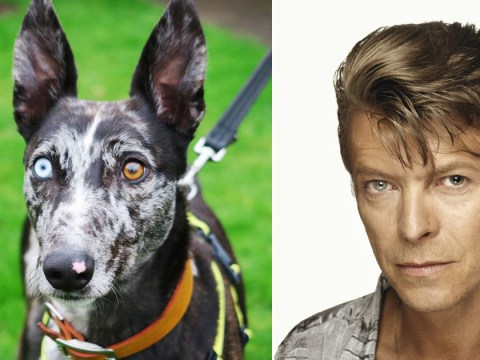Bowie the dog couldn't find a new home – but now David Bowie's son has stepped in