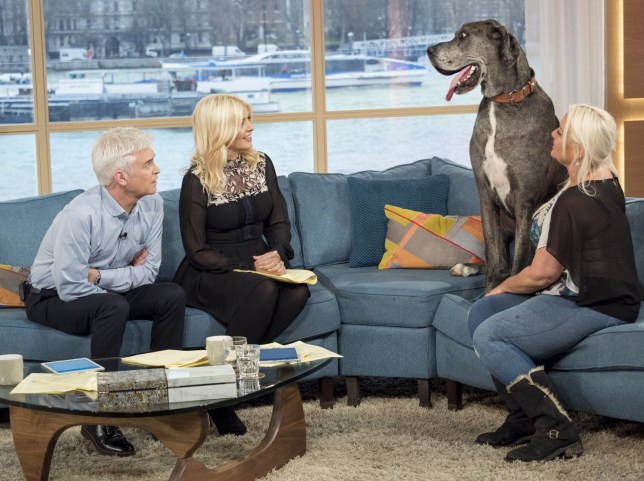 EDITORIAL USE ONLY. NO MERCHANDISING Mandatory Credit: Photo by Ken McKay/ITV/REX/Shutterstock (7764896ay) Phillip Schofield and Holly Willoughby with Freddy and Claire Stoneman 'This Morning' TV show, London, UK - 10 Jan 2017 Freddy has officially taken the title of World's Tallest Dog! It's cost his owner Claire Stoneman GBP 10, MEET FREDDY: THE WORLDS TALLEST DOG!, Weighing in at a staggering 14.5 stone and at a staggering 7ft 6, but she doesn't mind, he's like a baby to her and is far more important than any man. We chat to the former Glamour model turned taxi driver about Freddy scaring the postman and taking the title of World's Tallest Dog! But let's hope Freddy's on good behaviour around our iconic TM sofa - in the past he's chomped his way through 26 settees!