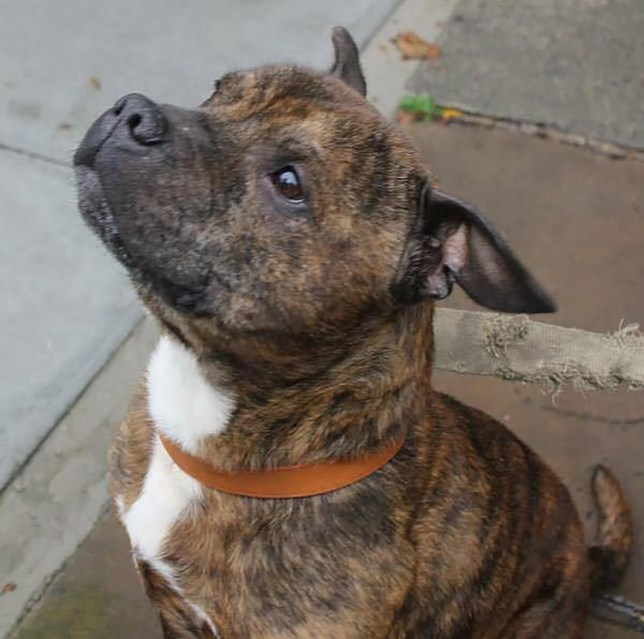 PIC FROM Senior Staffy Club/MERCURY PRESS (PICTURED: STAFFORDSHIRE BULL TERRIER, BUTCH, 10, DISCOVERED IN WATERLOO, LIVERPOOL) A dog which ATE its dead owner could be set to return to the streets ñ despite the manís family wanting the animal put down. Staffordshire bull terrier Butch, 10, was discovered feeding on his ownerís corpse at a house in Waterloo, Liverpool, in September 2014 after an estimated four days without food and water. Merseyside Police said the ëhighly agitatedí staffy was aggressive to officers who attended the scene and seized the canine after the incident, before being granted an order to destroy him last year. But animal campaigners battling this ruling have now won the right for it to be reviewed ñ and claim Butch eating his owner was simply ëwhat was naturalí after being deprived of food for so long. SEE MERCURY COPY
