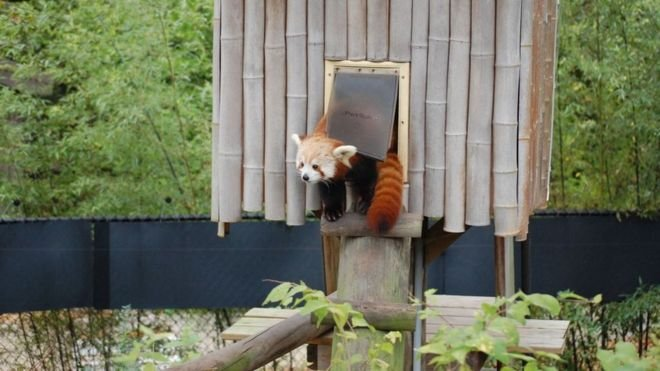 Red panda escapes zoo (Virginia Zoo) https://twitter.com/VirginiaZoo