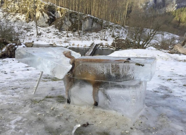 Fox frozen in block of ice after drowning in river