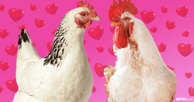 Chickens trick their partners into sex