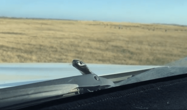 A snake appearing from a car in South Australia