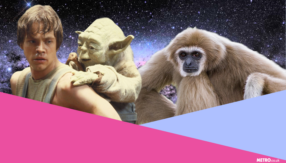 New species of gibbon named after Star Wars character, and Twitter has gone ape