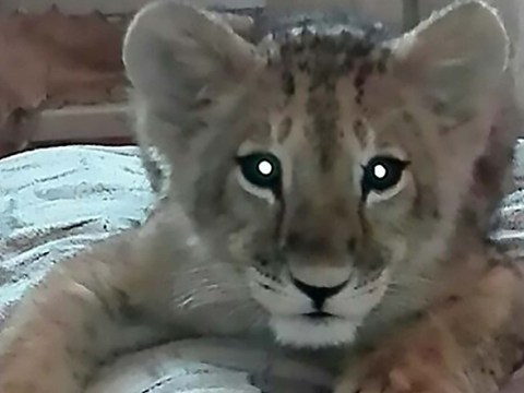 Family shocked to discover that lion cub they bought 'bites, scratches and pees'