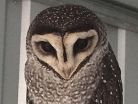 Oscar the Owl has flown the coop and Adelaide Zoo need your help to find him