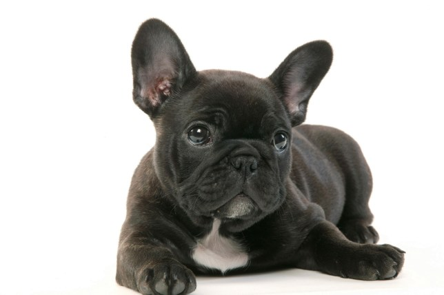 French bulldog (Canis familiaris) . (Photo by: Auscape/UIG via Getty Images)