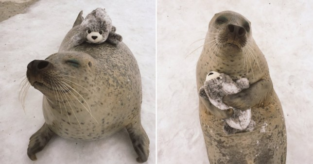 Seal loves tiny toy version of itself Credit: Twitter/mombetsu_land