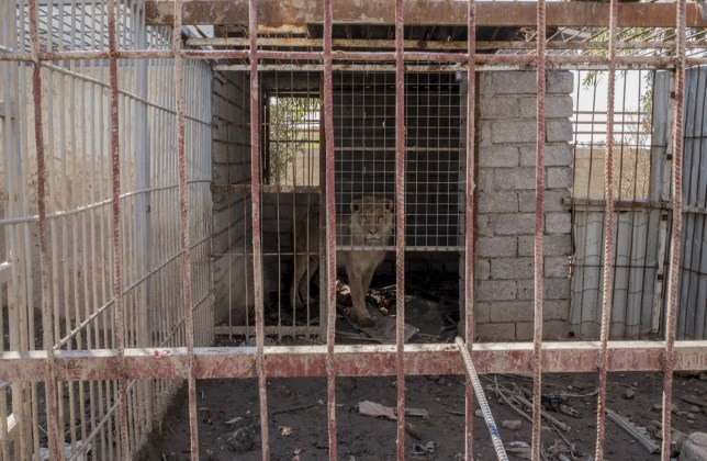 MOSUL, IRAQ - FEBRUARY 2 -The last lion alive in Muntazr al Noor Zoo in east Mosul, Iraq, on February 2, 2017. The zoo's owner was badly beaten by Islamic State and went into hiding. The other animals died from starvation and neglect during over two years of Islamic State occupation. (Photo by Martyn Aim/Corbis via Getty Images)
