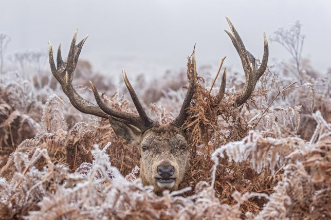 ***MANDITORY BYLINE - Jayne Bond/Caters News*** - (PICTURED: Photographer, Jayne Bond captures an amazing image of a stag peering out of the frosted fern in Richmond Park.) - Feeling a little chilly, deer? This stag looks more than a little wintry as he pops his head up from a mass of bracken in a freezing Richmond park. Despite being well camouflaged by the frost-covered plants, wildlife photographer Jayne Bond managed to capture the moment the magnificent creature popped his head up - making for a fabulous photograph. Jayne, a retired assistant headteacher from Poole, Dorset, said: It was a very cold, frosty morning. There were several stags around, some moving slowly, others laying on the ground. This one seemed very settled in the fern, before popping his head out to see what was going on - I think he had been trying to keep warm. SEE CATERS COPY.