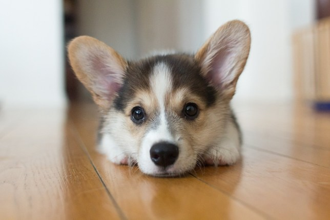 A cute tricolor Pembroke Welsh Corgi.