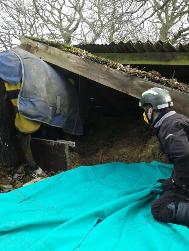 This horse, which was rescued by firefighters, was stuck under a collapsed farm building for several hours - after she FELL THROUGH THE ROOF. See News Team story NTIHORSE; Firefighters spent four hours trying to free the animal after it became stuck in the rubble just after 7am on February 17. A vet had to sedate the horse at the farm in Bedworth, Warwicks, as the fire crew worked as quickly as they could to save her. The horse miraculously escaped with only a few small cuts on the side of her hind legs.