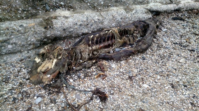 (Picture: Chris Crane/SWNS) A mysterious 8ft creature has been washed up on a beach - leading people to believe that it could be a Cornish mythical SEA SERPENT. Shocked Chris Crane, 61, was walking on the quiet shore of Charlestown, Cornwall, with wife Amanda, 59, when they saw a large black figure in the distance. See story SWSERPENT. The baffled couple got closer and realised it was a skeleton - but between them could not work out what creature it was. Mr Crane, who runs a Bed and Breakfast, took pictures and posted them on Twitter - and some people suggested it could be the mythical creature MORGAWR.