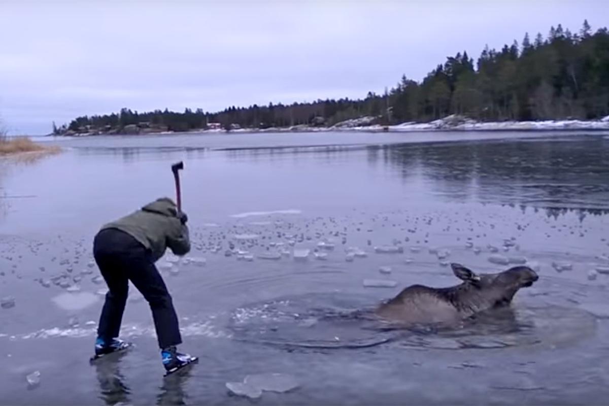 Poor moose :( (Picture: Viktor Johannessen/YouTube)