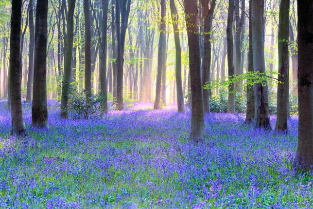 Bluebell woodland amidst straight trunks of Beech Trees with their acid green spring foliage.