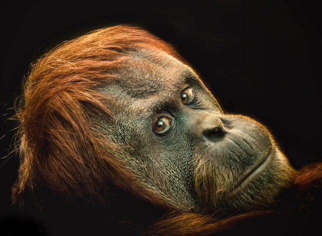 Female Orang-utan at Chester Zoo Isolated onto a black background.